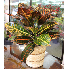 DiBella Flowers & Gifts Las Vegas - Croton Plant Hardy and beautiful!