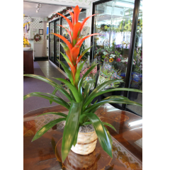 DiBella Flowers & Gifts Las Vegas - Bromeliad Plant  Hardy and unique. * Colors may vary slightly * If no color is chosen, best color will be sent.