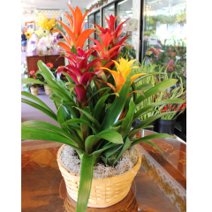 DiBella Flowers & Gifts Las Vegas - Five Bloom Bromeliad Vibrant and long lasting this basket garden of five different blooming Bromeliads is a stunning gift for any occasion.  **Large Shown**