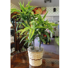 DiBella Flowers & Gifts Las Vegas - Dracaena 8 inch Long lasting and easy care this lush green plant is a great gift for any occasion.