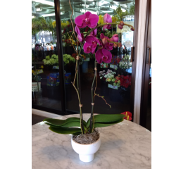DiBella Flowers & Gifts Las Vegas - Phalaenopsis Orchid - White Bowl * Please choose orchid color. If no color is chosen, white will be sent.