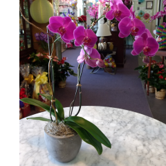 DiBella Flowers & Gifts Las Vegas -  Phalaenopsis Orchid - Cement * Please choose orchid color. If no color is chosen, white will be sent.