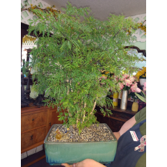 Michelle's says it's lucky... she's always right! Lucky money bonsai. Easy care and beautiful.