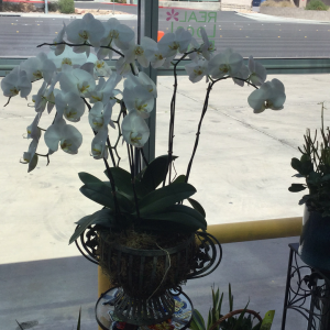 DiBella Flowers & Gifts Las Vegas - Five stems of gorgeous pure white Phaleanopsis orchids in decorative metal container.