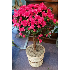 DiBella Flowers & Gifts Las Vegas - These Azalea Topiaries are BEAUTIFUL! Get them while they last *Pick a color or we will pick the prettiest available =)