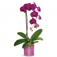 DiBella Flowers & Gifts Las Vegas - Razzle dazzle them with this outstanding orchid gift! Elegant and unforgettable, this living phalaenopsis orchid plant is nestled in a bed of moss within a charming, bubble-textured pink glass vase. A gorgeous potted purple phalaenopsis orchid plant is arranged with reindeer moss. Delivered in a Bubbling Over Cylinder.