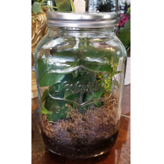 DiBella Flowers & Gifts Las Vegas - Giant Mason Jar Terrarium filled with easy care plants *Includes lid