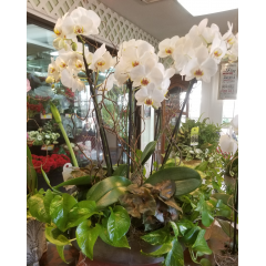 DiBella Flowers & Gifts Las Vegas - Blooms of phalaenopsis orchid, surrounded by lush green plants in cement bowl