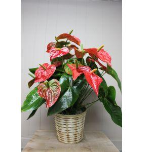 DiBella Flowers & Gifts Las Vegas - Anthirium Plant - Large