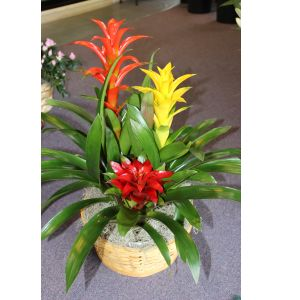 DiBella Flowers & Gifts Las Vegas - Bromeliad Trio Hardy and beautiful. This large planter basket is an excellent gift for an home or office.