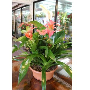 DiBella Flowers & Gifts Las Vegas - Tropical Mix Dish Garden Extra Large Assortment of blooming and green tropical plants including Bromeliad and Anthirium *Colors will vary depending on availability- Leave color requests in special instructions and we will do our best.