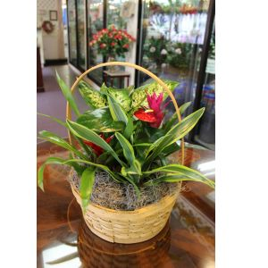 DiBella Flowers & Gifts Las Vegas - Tropical Basket Garden Basket garden including Bromeliads, Anthurium plant and assorted green plants.