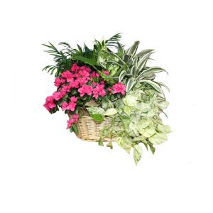 DiBella Flowers & Gifts Las Vegas - Bountiful Blooming and Green Basket Garden Extra Large Our largest basket garden full of lush green plants and blooming azalea. ** Basket style may vary