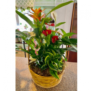 DiBella Flowers & Gifts Las Vegas - Our latest tropical basket garden that includes anthurium, bromeliad, peace lily and more in a tan wicker basket. *Approx 2 ft by 1 ft