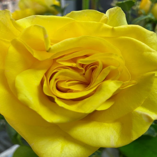 "DiBella Flowers & Gifts Las Vegas - Big and beautiful our ""New Yellow"" rose is the prefect way to brighten someone's day.  A yellow rose represents friendship, joy and caring. These beautiful sun-colored roses can also convey warmth, delight, gladness and affection, as well as say good luck, welcome back, and remember me."