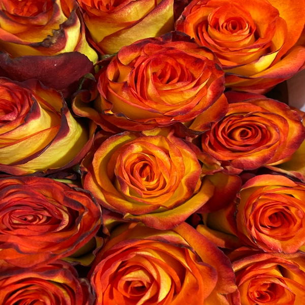 DiBella Flowers & Gifts Las Vegas - Gorgeous high Magic roses. Mostly yellow with red tips. A yellow rose with a vibrant red tip is a beautiful flower to give when you're looking for something one of a kind. The yellow represents the vibrancy of your love and the red represents passion.