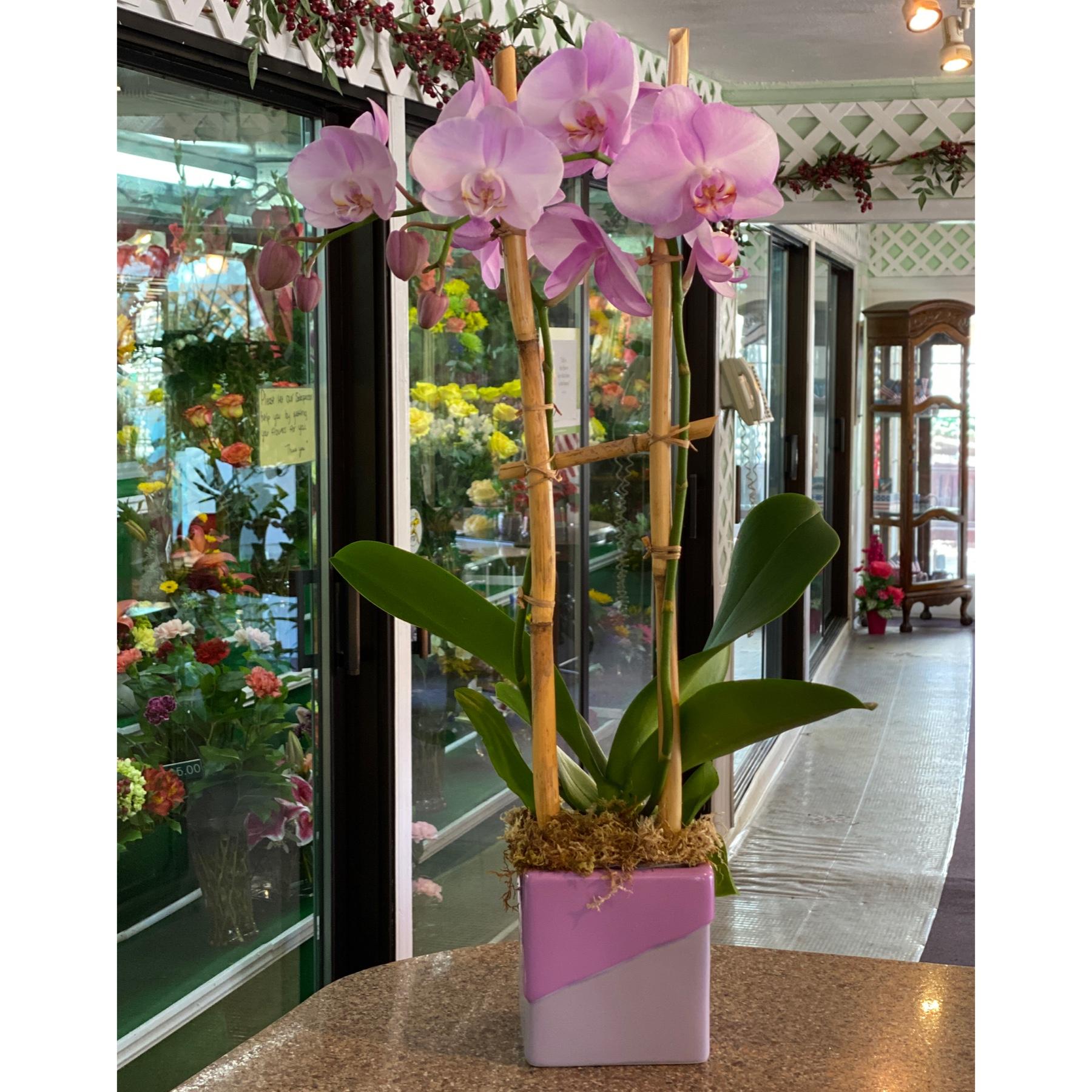 DiBella Flowers & Gifts Las Vegas - Gorgeous lavender phalaenopsis orchid in keepsake lavender cube