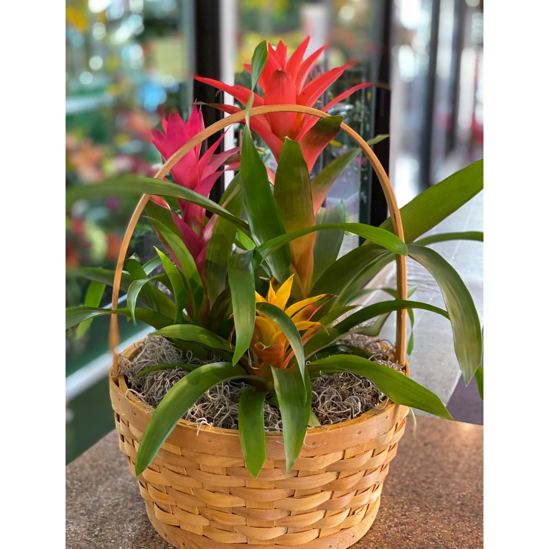 DiBella Flowers & Gifts Las Vegas - Our bromeliad trio basket perfect for a desktop