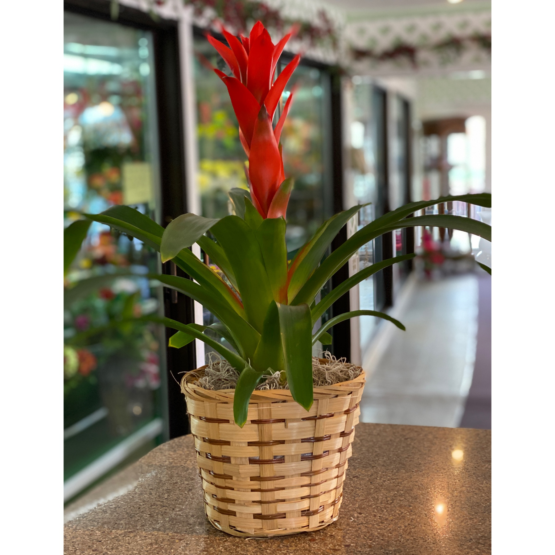 DiBella Flowers & Gifts Las Vegas - One of our gorgeous Brilliant red bromeliads in a basket