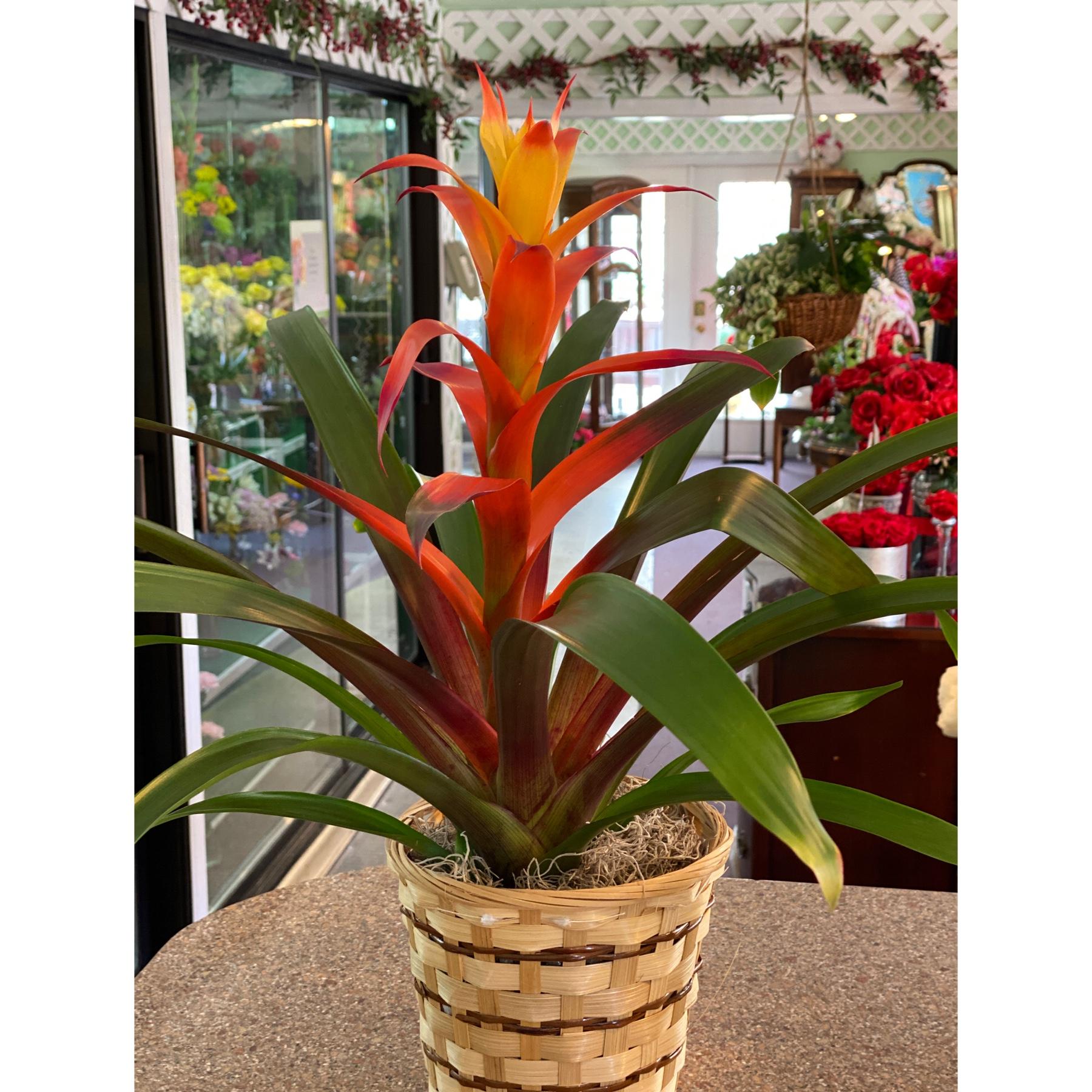 DiBella Flowers & Gifts Las Vegas - Fiery sunset bromeliad in a basket
