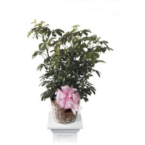 DiBella Flowers & Gifts Las Vegas - Schefflera Inch Plant CTT67-11 *10in shown