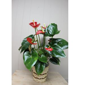 DiBella Flowers & Gifts Las Vegas - Antherium Plant- Small