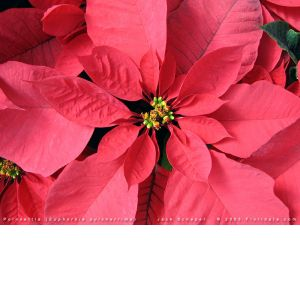 DiBella Flowers & Gifts Las Vegas - Red Holiday Poinsettia Includes festive wicker basket and holiday bow!