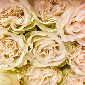 DiBella Flowers & Gifts Las Vegas - Our Gorgeous Moonstone roses. Ruffled creamy white roses. White roses often represent purity, a new beginning, everlasting love and youthfulness.