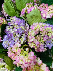 DiBella Flowers & Gifts Las Vegas - Fresh hydrangea in a vase! Choose your color or we will pick the prettiest for you.