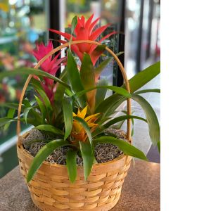 DiBella Flowers & Gifts Las Vegas - Our bromeliad trio basket perfect for a desktop. * Plants may vary.