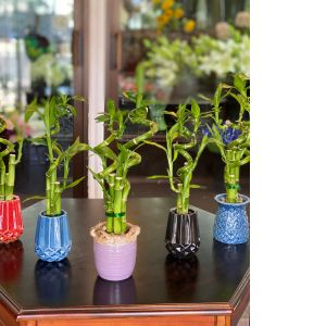 DiBella Flowers & Gifts Las Vegas - Assorted bamboo planters! Long lasting and brings good luck.