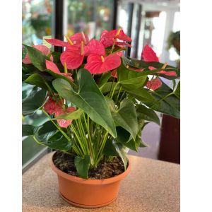 DiBella Flowers & Gifts Las Vegas - Gorgeous pink Anthirium!