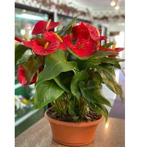DiBella Flowers & Gifts Las Vegas - Gorgeous red Anthirium!