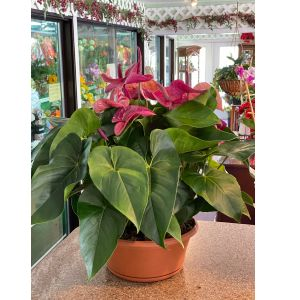 DiBella Flowers & Gifts Las Vegas - Gorgeous rare purple Anthirium!