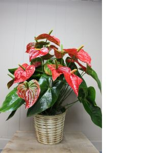 DiBella Flowers & Gifts Las Vegas - Anthirium Plant - Large