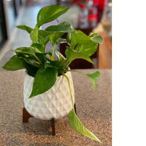 DiBella Flowers & Gifts Las Vegas - Hardy and easy care Pothos plant in keepsake Mid Mod Geometric container. Perfect for home or office.