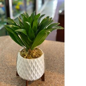 DiBella Flowers & Gifts Las Vegas - One of our hardy Dracenas in keepsake Mid Mod Geometric Planter. Perfect for an office  or kitchen.