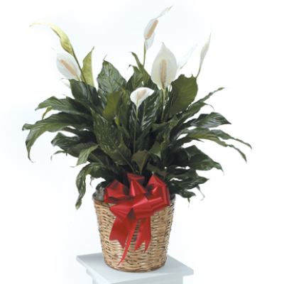 Peace Lily Plant Addon