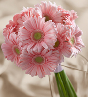 DiBella Flowers & Gifts Las Vegas - Daisy Delight Bouquet is an expression of happiness and sweet simplicity to add that extra touch to the wedding day. Delightful pink gerbera daisies are arranged to form a beautiful cluster of color, tied together with a pink satin ribbon to create a bouquet of soft elegance.