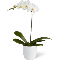 The FTD® White Orchid Planter is an elegant, long-lasting gift that beautifully conveys your condolences for their loss. A snow-white phalaenopsis orchid plant displays its exotic blooms while seated in a designer white ceramic container to create a symbol of peace that honors the life of the deceased.  <br>