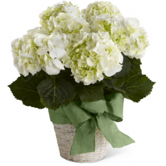 White Hydrangea Planter is a wonderful way to express your deepest condolences for their loss. A simply gorgeous hydrangea plant displays its clusters of white blooms arriving in a white-wash basket accented with a designer green wired taffeta ribbon to offer peace and comfort in their time of need.  <br>