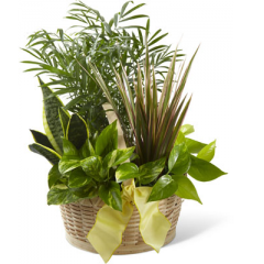"""The FTD French Garden employs lush, green plants to create a gift ideal for any of life's special occasions. Containing a varied assortment of 6 green plants, this dish garden arrives presented in a natural round woodchip basket accented with a yellow wired taffeta ribbon to create a wonderful way to send your sentiments across the miles. Approx. 18""""H x 14""""W. <br>"""
