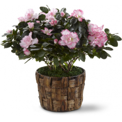"""The FTD Pink Azalea showers your recipient with beautiful blushing blooms to create a fantastic gift set to celebrate any occasion. A stunning azalea plant displays soft pink flowers from its branches presented in a woven banana leaf potcover to create a sensational way to send your sweetest sentiments.  6"""" plant.<br>"""
