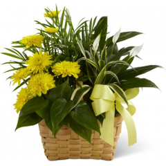 The FTD Loving Light Dishgarden is a ray of hope and a beautiful symbol of eternal life offered through our finest collection of plants. A palm plant, peace lily plant, dracaena plant and philodendron plant create an exquisite look when brought together in a 7-inch natural woodchip basket and accented with stems of bright yellow chrysanthemums. Adorned with a yellow satin ribbon, this gorgeous dishgarden will bring comfort and extend sympathy throughout the months ahead.<br>