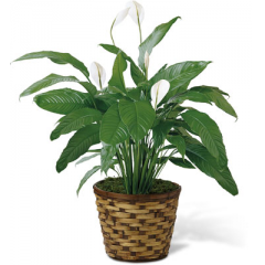 """The FTD Spathiphyllum, or more commonly known as the Peace Lily, is a beautiful plant to help convey your wishes for tranquility and sweet serenity. An ideal gift for most occasions, this lush plant displays white conical blooms perfectly presented in a round woven container to make it a natural fit for any interior decor. 8"""" plant. <br>"""