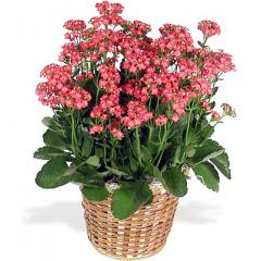 A 6in. pot size Kalanchoe plant.