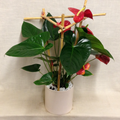 A beautiful Anthurium plant in a ceramic container with a bamboo trellis.