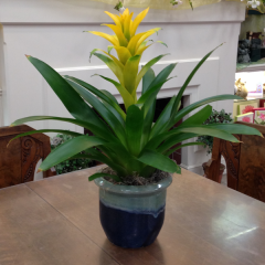 A striking Bromeliad in a ceramic container.  Colors of Bromeliads and ceramics will vary, call the shop for specific requests!