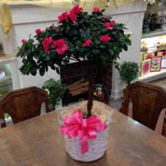 A beautiful Azalea Tree Topiary with a braided stem in basket.