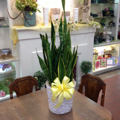 A large green plant in a basket.  Many varieties are available!  Give us a call or select the plant you'd like below. Snake plant (as shown), spath, and pothos are usually available same day, other varieties might have to be special ordered.